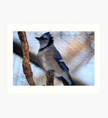 Blue Jay(Cyganocitta Cristata) Art Print