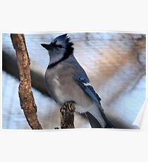 Blue Jay(Cyganocitta Cristata) Poster