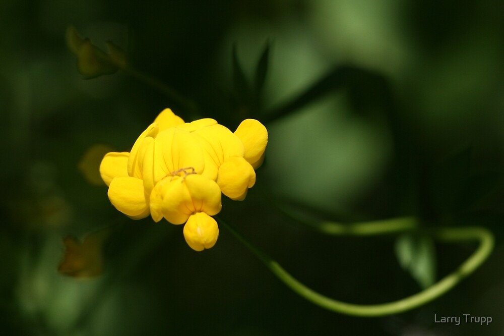 Bird's Foot Trefoil (Lotus Corniculatus)... by Larry Trupp