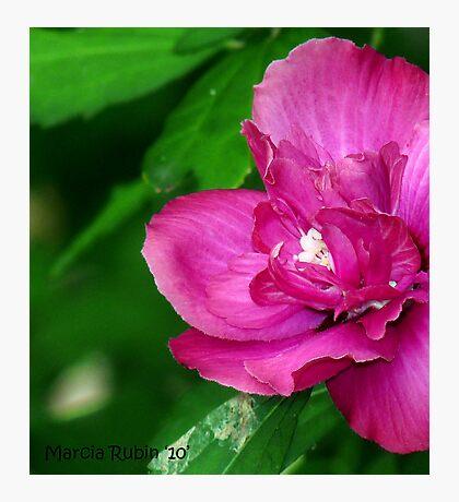 Pink Habiscus Photographic Print
