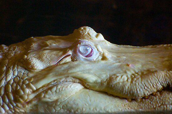 Albino Alligator Up Close by TJ Baccari Photography