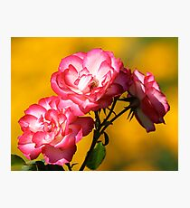 Roses of Pink Before Yellow Bokeh Photographic Print