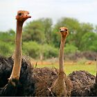 THE OSTRICH - DID YOU TALK TO ME? by Magriet Meintjes