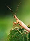 Mantis  by Joshua Greiner