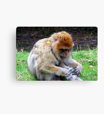 Barbary macaque - Trentham Monkey Forest Canvas Print