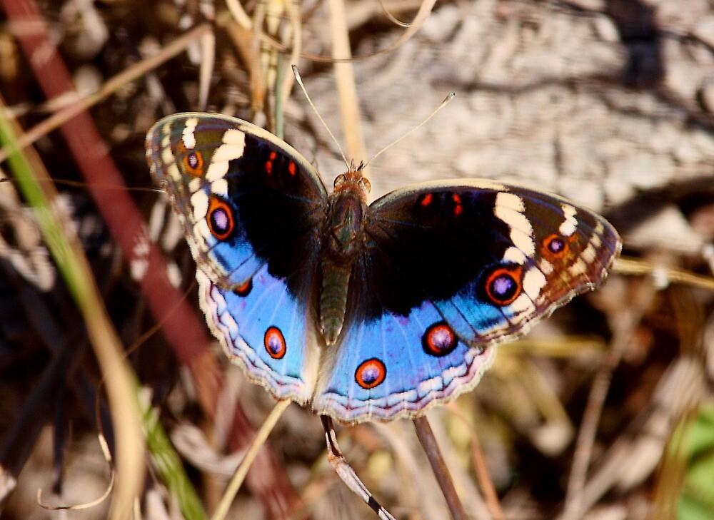 The Blue Pansy for Dreamflower by burnettbirder