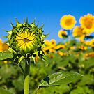 Young Sunflower by Nickolay Stanev