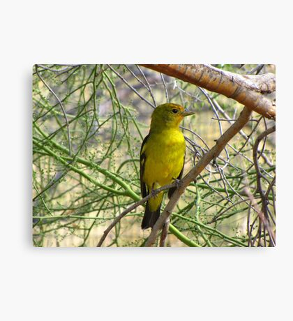 Western Tanager ~ Nonbreeding Male Canvas Print