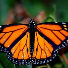 Monarch by Sunshinesmile83