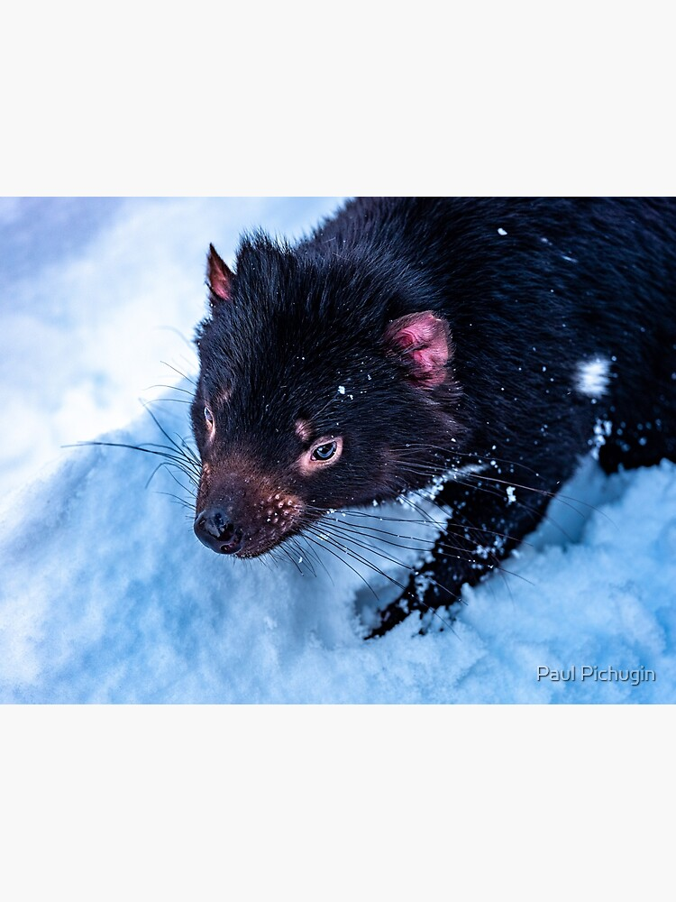 Tasmanian Devil by paulmp