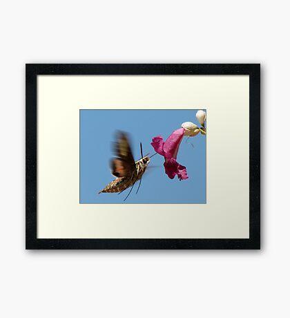 White-lined Sphinx Moth ~ 2 Framed Print