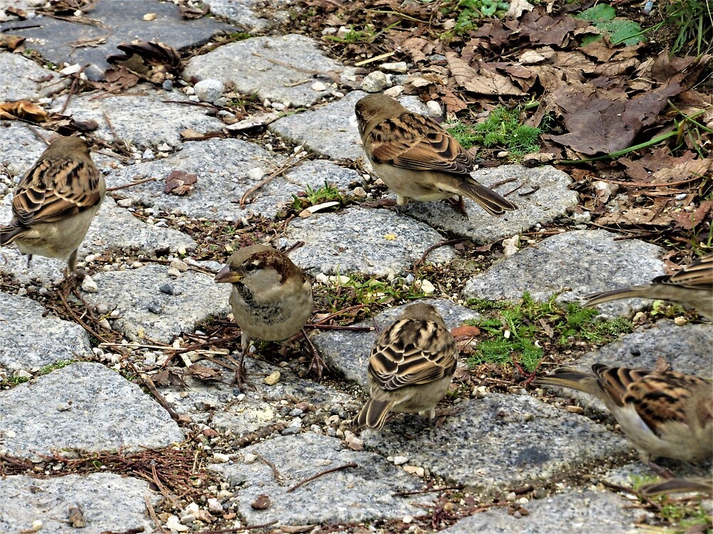 House Sparrows by tomeoftrovius
