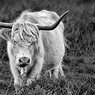 Highland Cow by LazloWoodbine