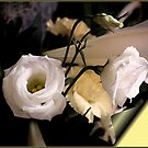 White Rose by hary60