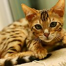 Bengal Kitten - Quincy by Mel Preston