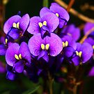 Coral Pea (Hardenbergia violacea)  by Bev Pascoe
