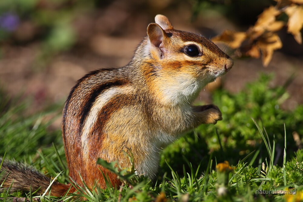 Eastern Chipmunk by naturalnomad