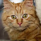 Lucy the ginger kitten by Norman Repacholi