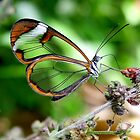 Glasswing Butterfly by Macky