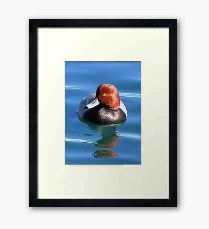 Redhead Duck ~ Male Framed Print