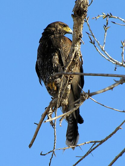 Harris's Hawk ~ Juvenile  by Kimberly Chadwick