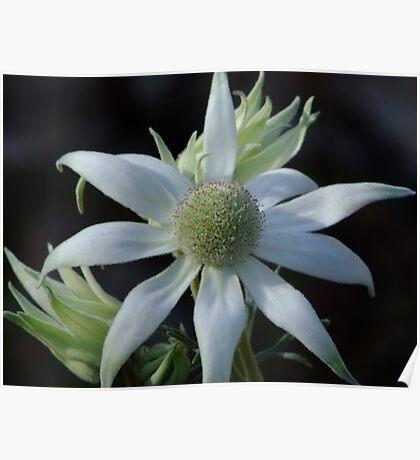 Australian Wildflowers - Flannel Flower Poster