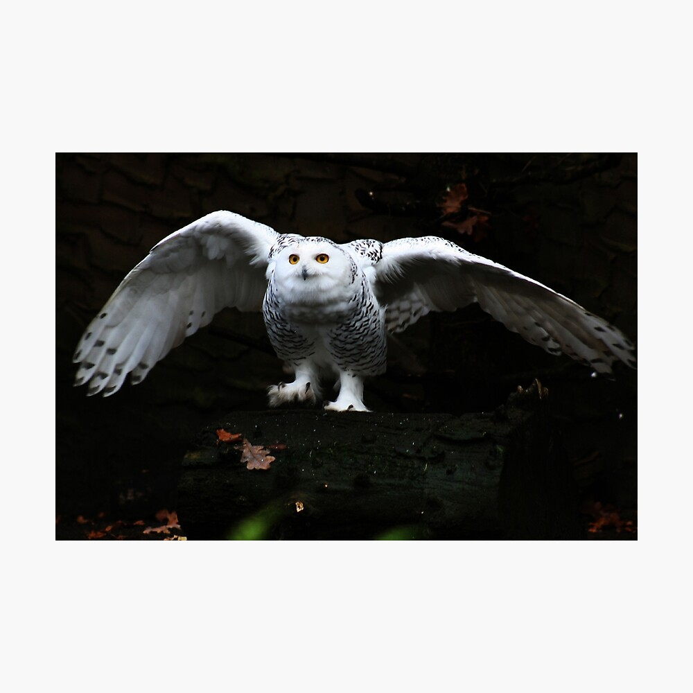 Snowy Owl With Open Wings Photographic Print