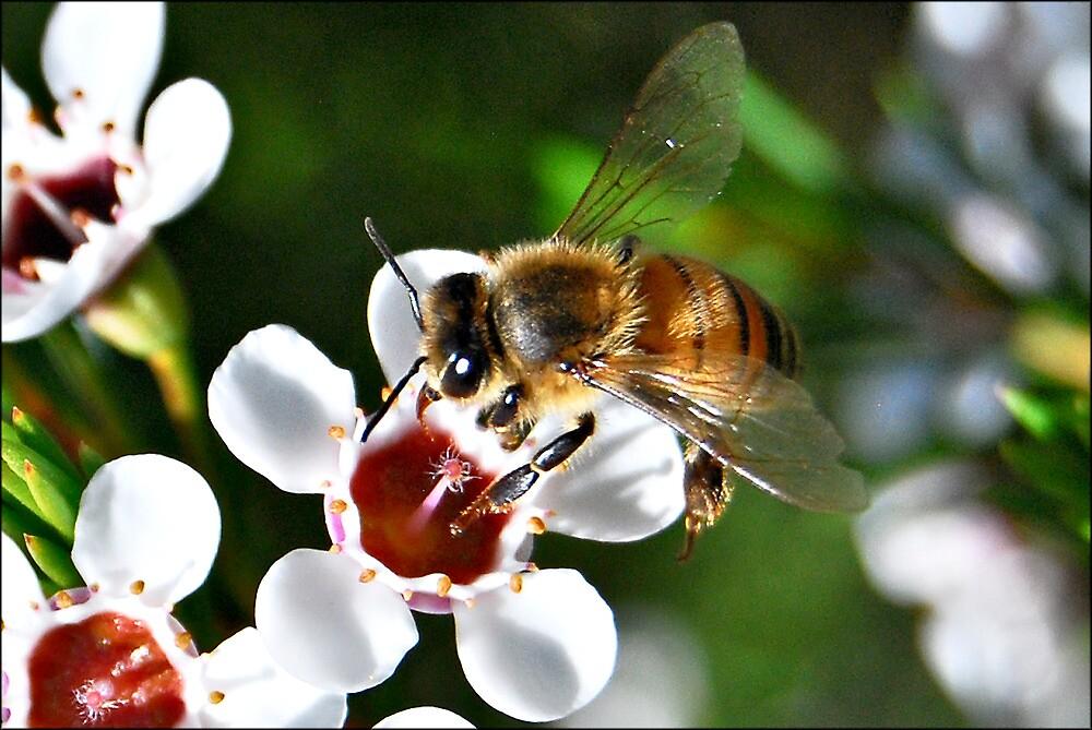 Bee landing on a Geraldton Wax flower by jodik75