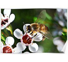 Bee landing on a Geraldton Wax flower Poster