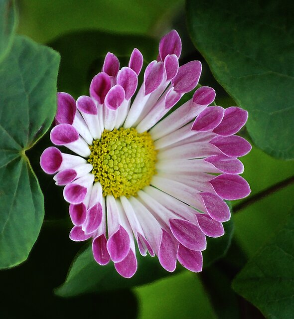 African Daisy by LoriLeaPhoto
