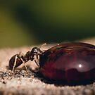 Sugar Ant by Danny Roozen