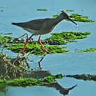 Spotted Redshank by Russell Couch