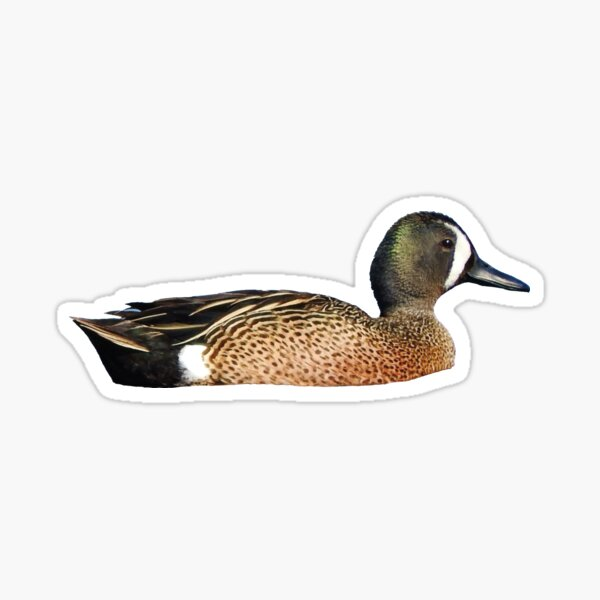 Blue-Winged Teal Sticker