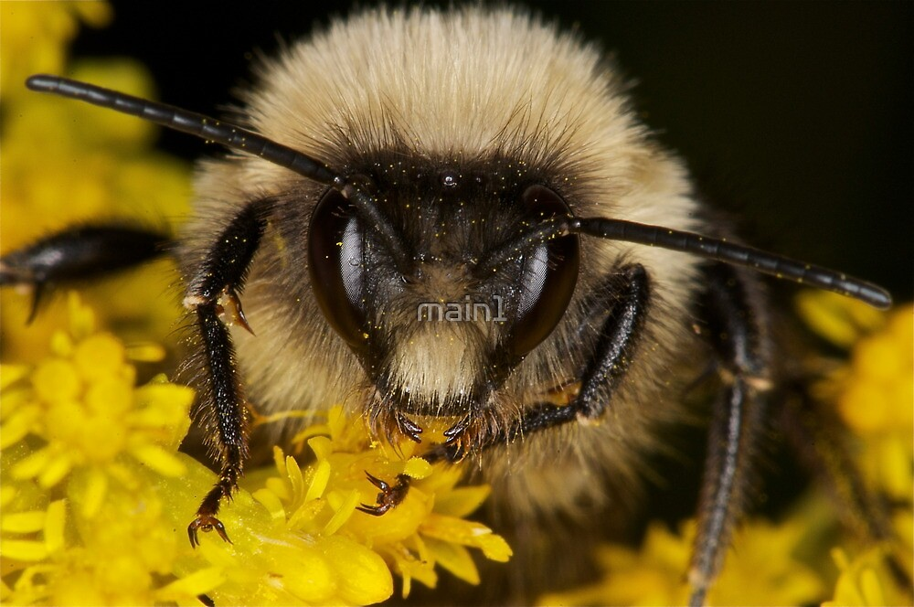 Bumblebee by main1