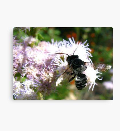 Leafcutter Bee (Megachile) Canvas Print