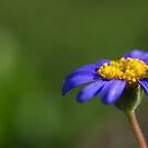 daisy blue by Clare Colins