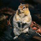Golden Mantal Ground Squirrel by Nancy Stafford