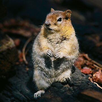 Golden Mantal Ground Squirrel by Aslan