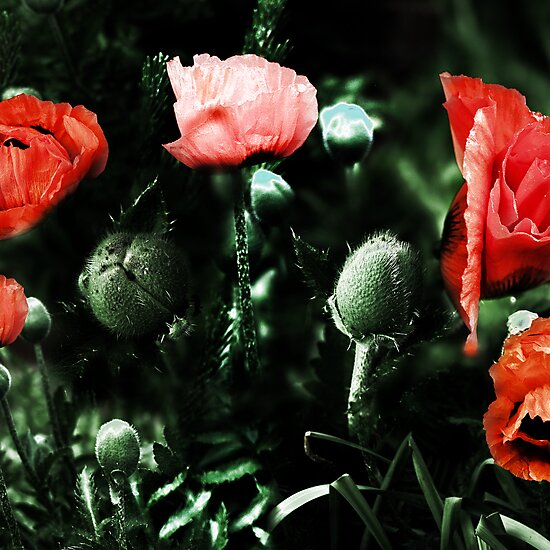poppies by brian gregory