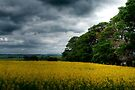 The Canola Field by Christine Smith