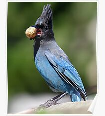 Stellar's Jay With a Beak-full Poster