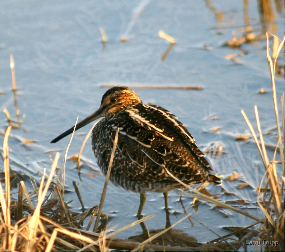 Wilson's Snipe... by Larry Trupp
