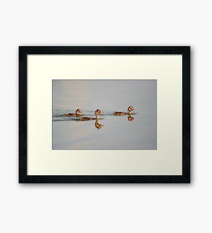 Three little grebes Framed Print