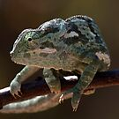 Flapped-necked Chameleon 2 by Marie Holding