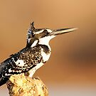 Pied Kingfisher by Marie Holding