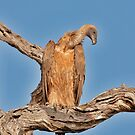 White-backed Vulture 2 by Marie Holding