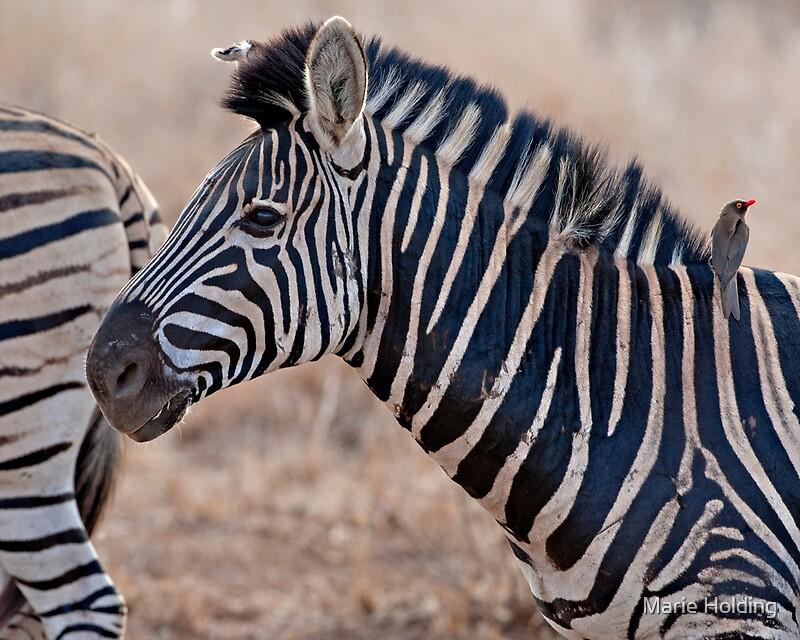zebra wildlife south africa - 800×640