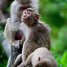 Macaque Monkey by Marie Holding