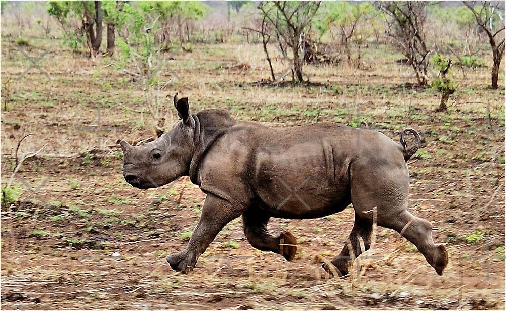 "*WHITE RHINOCEROS* - Ceratotherium simum - YES! I CAN DO IT ! (EVER SEEN A BABY RHINO... ""TAKE OFF"")   by Magriet Meintjes"