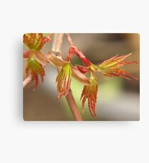 Japanese maple, budding leaves... Canvas Print